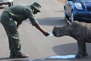Ranger supporting baby rhino