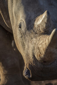 Photo of African Rhino
