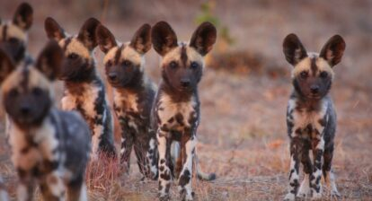 Photo of wild dog pups