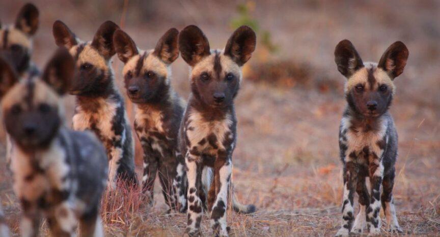 Photo of wild dog pups