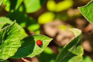 Photo of ladybird on leaf