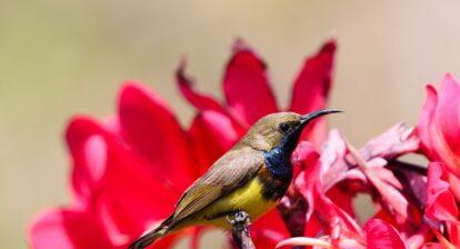 Photo of a Sunbird